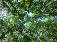 Goat Lake Trail - looking up into the alders
