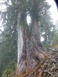 UUge Cedar Tree