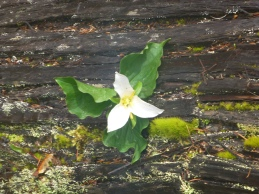 Trillium on a log